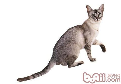 波米拉猫的品种简介