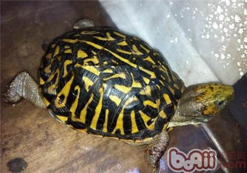 北部锦箱龟的形态特征