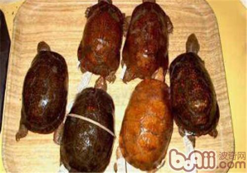 斑点箱龟的品种简介