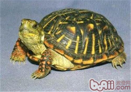 北部锦箱龟的喂食要求