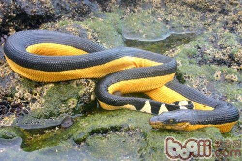 贝尔彻海蛇的食物要求