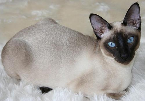 东奇尼猫训练-波奇网百科大全