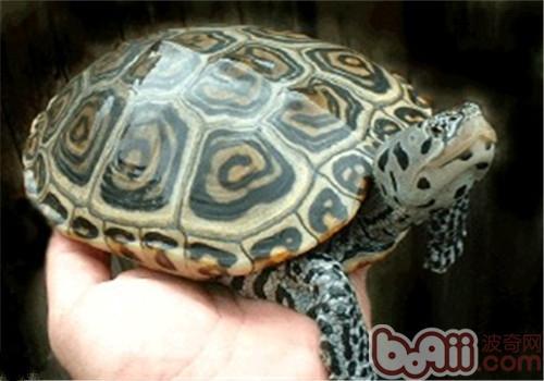 北部钻纹龟的环境要求