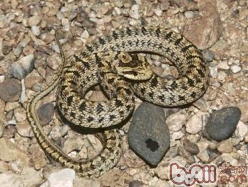 白条锦蛇的饲养箱布置