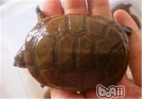 白胸侧颈龟的食物选择
