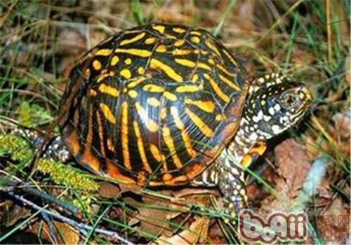 北部锦箱龟的品种简介