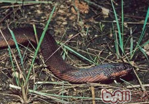 变色蛇的环境要求