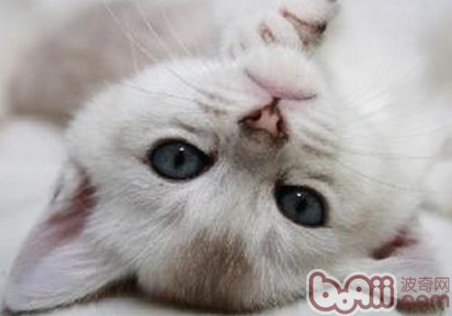 如何训练好波米拉猫