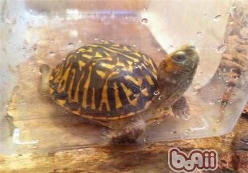 北部锦箱龟的养护重点