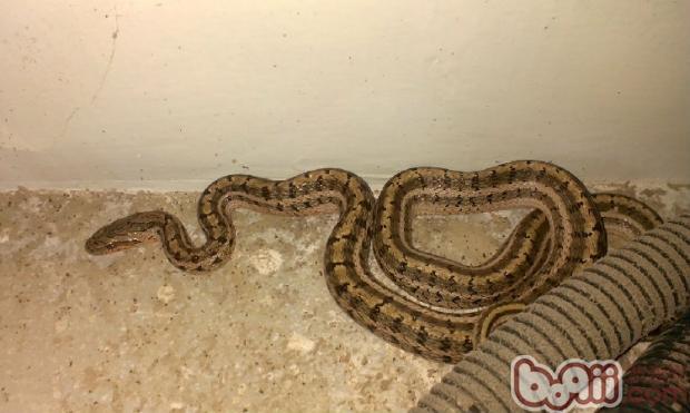 白条锦蛇的喂食要求