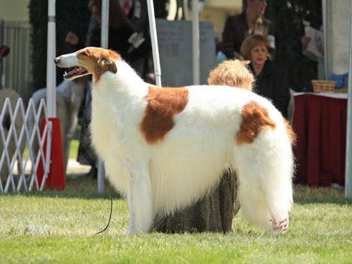 猎狼犬_俄罗斯猎狼犬价格_俄罗斯猎狼犬