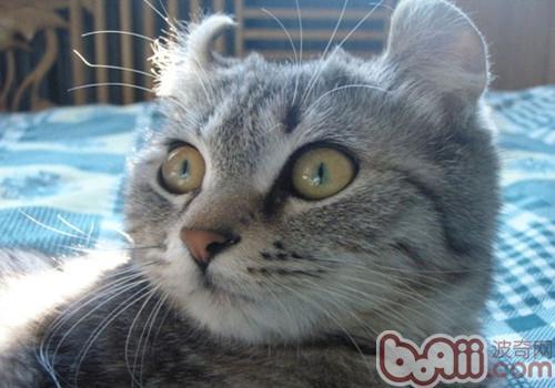 美国卷耳猫