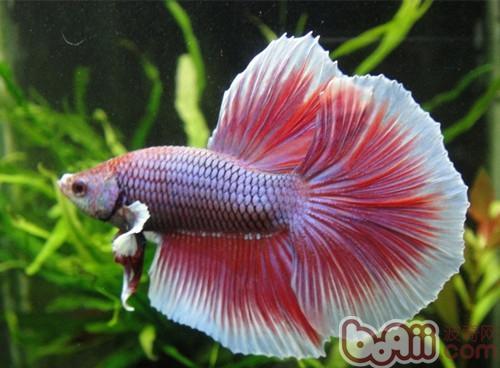 半月斗鱼的品种介绍