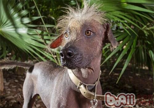 墨西哥无毛犬的品种简介