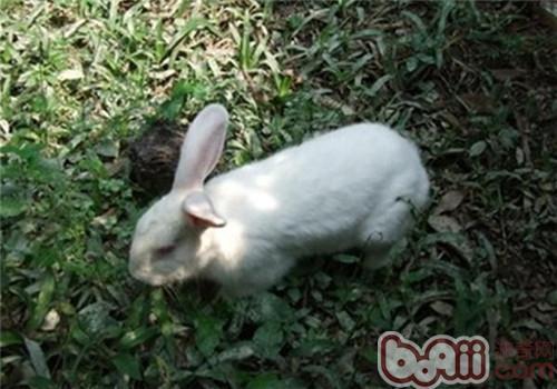 佛州大白兔品种简介
