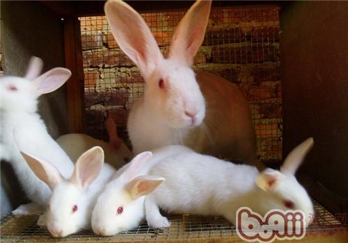 佛州大白兔的护理知识