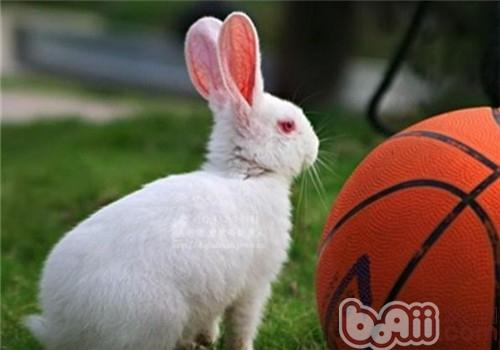 佛州大白兔的食物选择