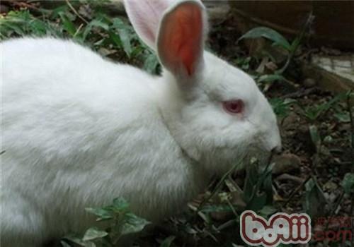 佛州大白兔的生活环境布置