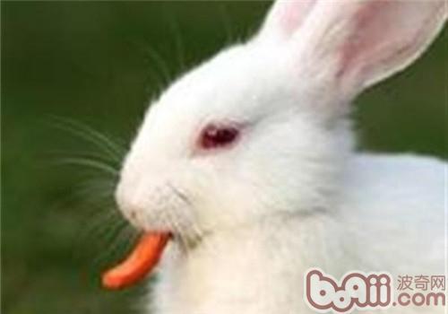 佛州大白兔的外貌特征