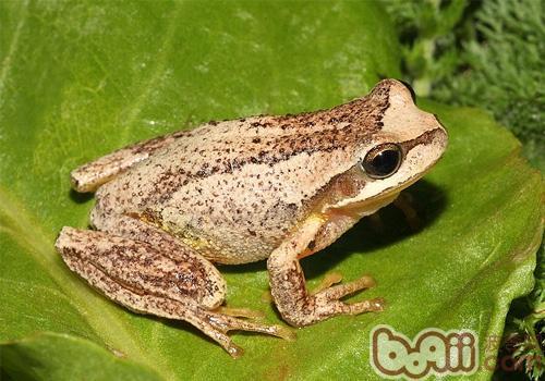棕树蛙的品种简介
