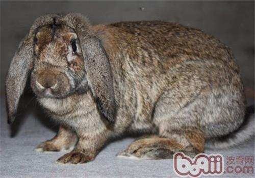 公羊兔的品种简介