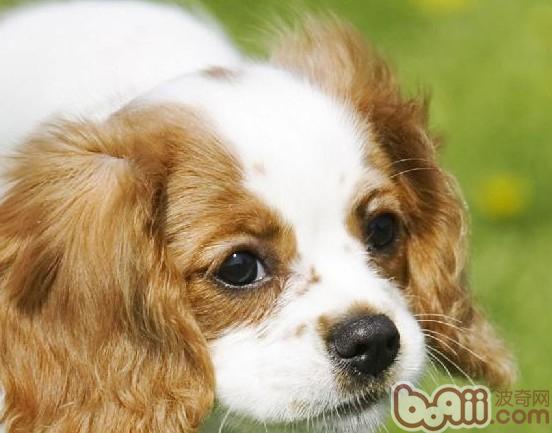 查理士王小猎犬的形态特征