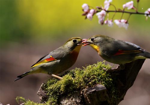 相思鸟的喂食要点