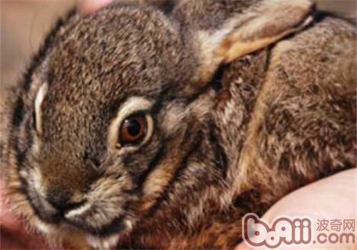 琉球兔的护理知识