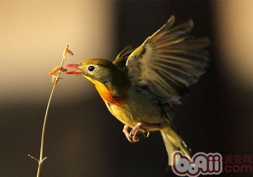 相思鸟形态特征