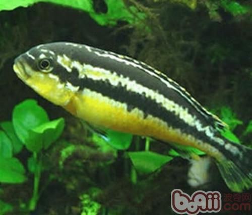 非洲凤凰_非洲凤凰鱼的外形特点 水族品种-波奇网百科大全