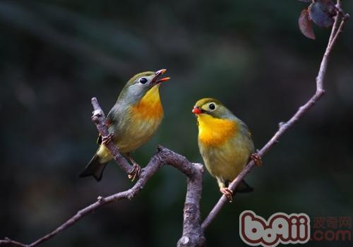 相思鸟的生活环境