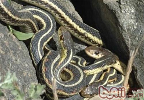 束带蛇的喂食要点