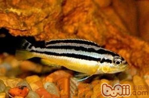 非洲凤凰_非洲凤凰鱼的喂食要点 水族喂食-波奇网百科大全