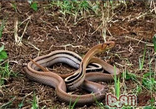 三索锦蛇的生活环境