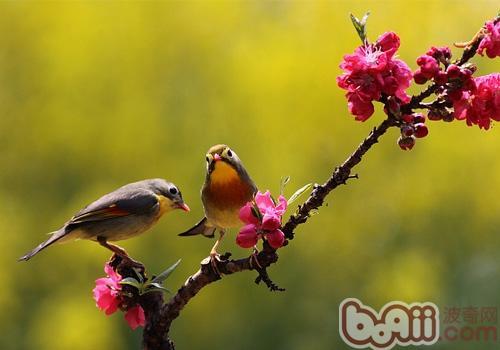 相思鸟品种简介