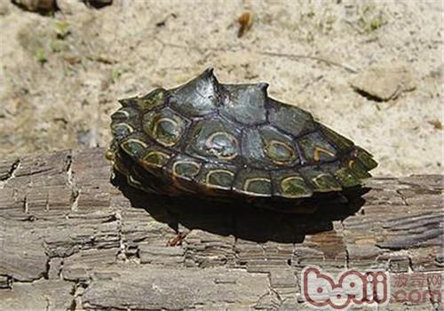 环纹地图龟的形态特征