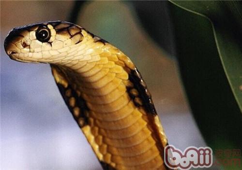 森林眼镜蛇的形态特征