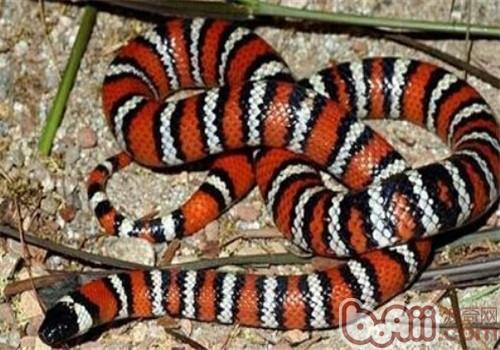 山王蛇的形态特征