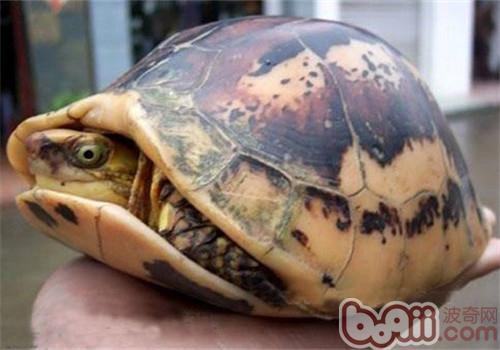 黄额闭壳龟的外观特征