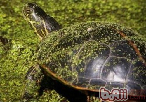 红纹锦龟的外形特征