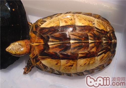 黄额闭壳龟的环境布置建议