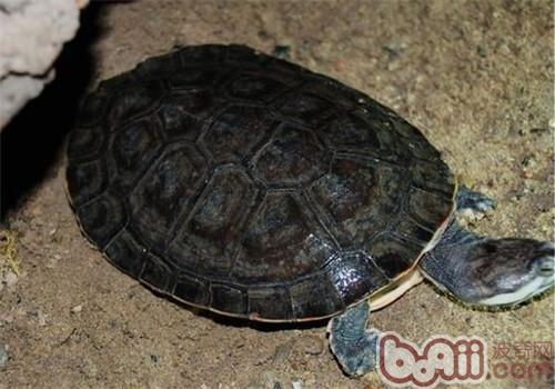 花面蟾龟的饲养要点
