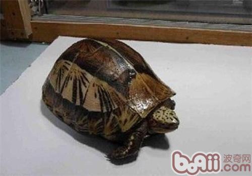 黄额闭壳龟的品种简介
