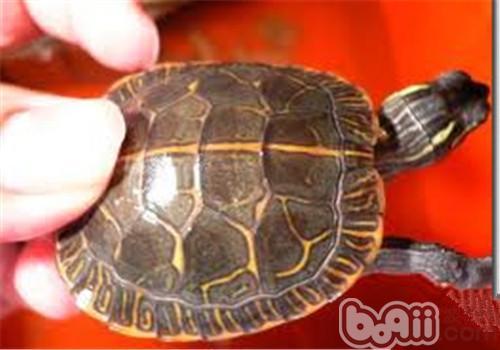 红纹锦龟的环境要求