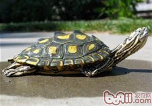 环纹地图龟的饲养要点