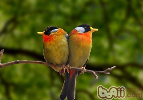 相思鸟的护理知识
