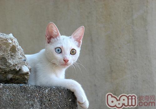 什么猫咪品种好养