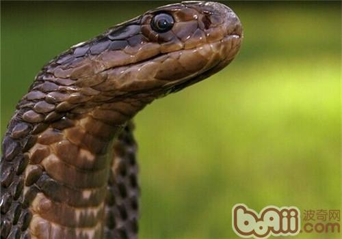 森林眼镜蛇的品种简介