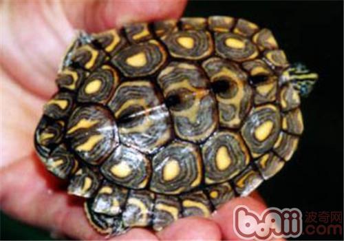 环纹地图龟吃什么比较好