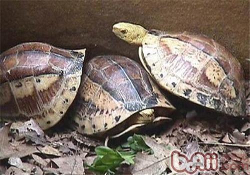 黄额闭壳龟的护理要点